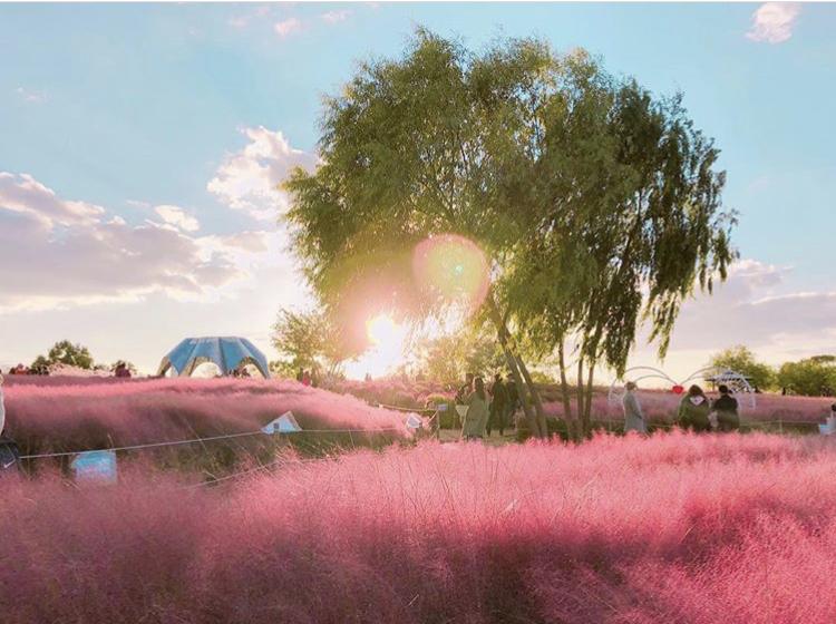 韩国很草_这个秋天来韩国,「粉红乱草子」才是必打卡!