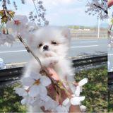 第一次赏樱的狗狗,表情也太陶醉啦!