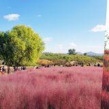 【旅遊資訊】滿眼的浪漫粉紅色! 天空公園的粉紅亂子草&波波草又要盛開啦