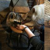 【浣熊咖啡廳】貓咪咖啡廳不夠酷了嗎?浣熊咖啡廳覺得如何呢~
