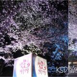 为了明年的樱花,笔记!首尔市内赏樱秘境,赛马公园夜空下的璀璨夜樱!