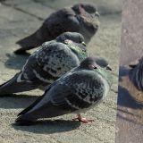 【K社韩文小百科】鸽子吃太饱竟变成「鸡」? 曾经是和平的象徵,如今惨被划为「有害动物」