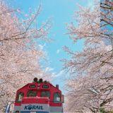 【春天限定】錯過只好等明年,鎮海軍港節最美櫻花季