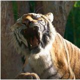 《明明会说话》老虎会唱歌!听见这首歌怎么能不想到他?