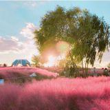 這個秋天來韓國,「粉紅亂草子」才是必打卡!