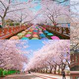 【春天限定】到韓國賞櫻囉!鎮海軍港節櫻花慶典,最浪漫的櫻花海就在這裡!