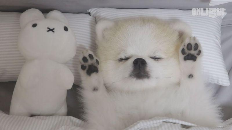 這節目好療癒啊~像人一樣會蓋被子睡覺的超級萌犬-拿鐵!
