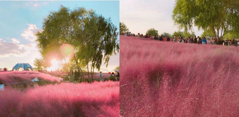 这个秋天来韩国,「粉红乱草子」才是必打卡!