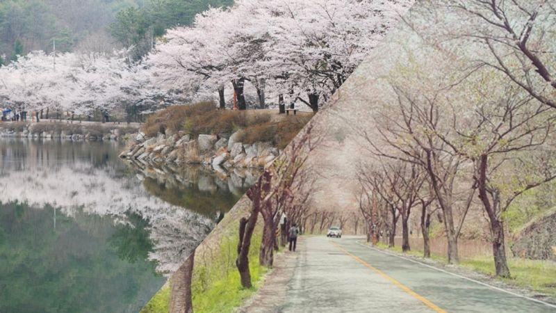 【春天限定】探訪神秘全州馬耳山,邂逅浪漫的櫻花之雨