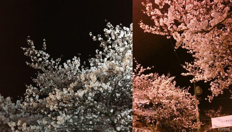 夜晚的櫻花也一樣閃亮:統營夜櫻!