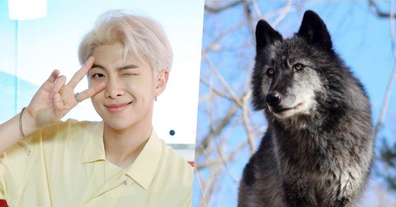 為紀念BTS防彈少年團RM生日,阿米們在美國收養了一匹灰狼!